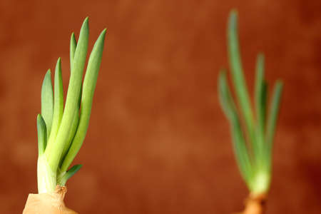 pair of old onions growing with fresh green stem