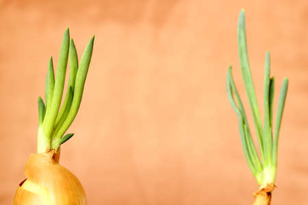 pair of old onions growing with fresh green stem photo