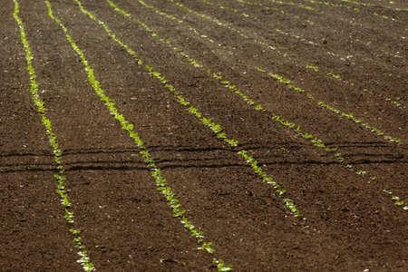 salad rows in the field