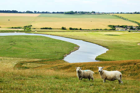 Sheep breeding in England Stock Photo