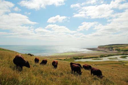 Cattle breeding in England Stock Photo
