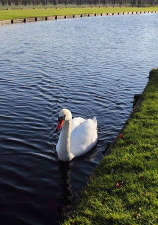 swan floating towards on the river