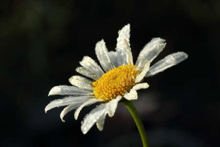 Daisy flower in the morning