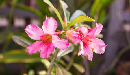obesum: Adenium obesum depth of field focus front flower