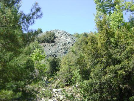 ponderosa pine: Serpantines in pine forest