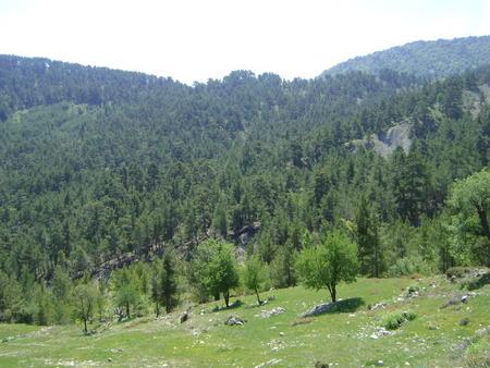 ponderosa pine: pine forest