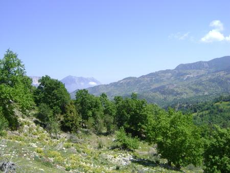 ponderosa pine: Forest of Taurus mountains