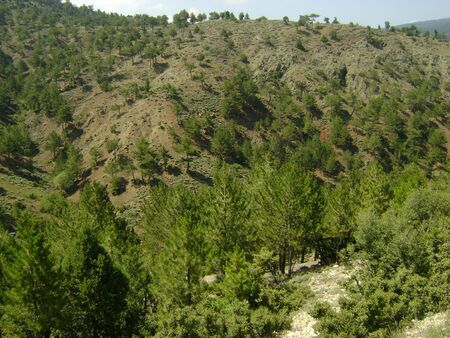 ponderosa pine: Forest on the Taurus Mauntains