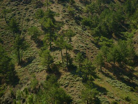 ponderosa pine: Forest on the Taurus Mountain