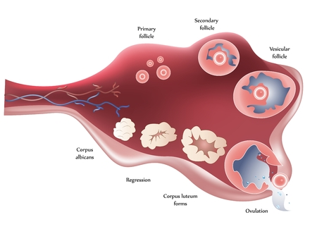 Female Ovary. Showing ovulation step by step.  Vector