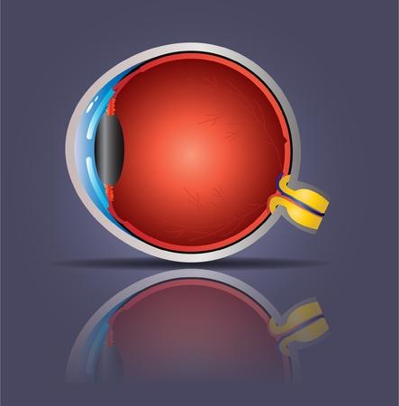 cornea: Anatomia occhio Vettoriali