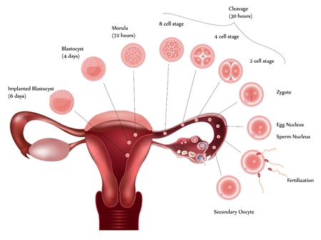 Cell development. Female reproductive system showing ovulation, fertilization, cell further development and finally implantation. Stock Vector - 8976710