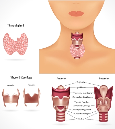 thyroid: Thyroid gland anatomy