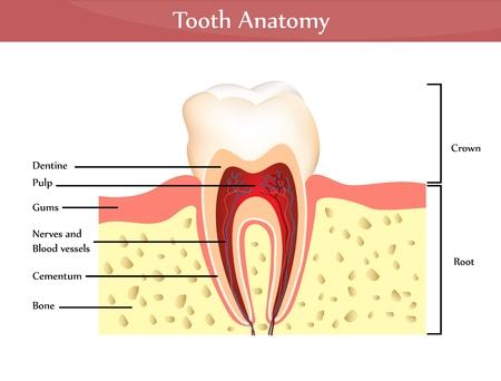 Tooth Anatomie. Detaillierte Diagramm. Schöne helle Farben  Vektorgrafik
