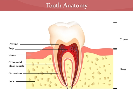 shedding: Tooth anatomy. Detailed diagram. Beautiful bright colors  Illustration