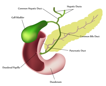 bowel: Pancreas, duodeno e cistifellea. Descrizione dettagliata.  Vettoriali
