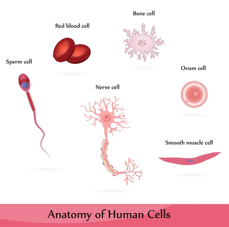 Human cells Stock Vector - 9074524