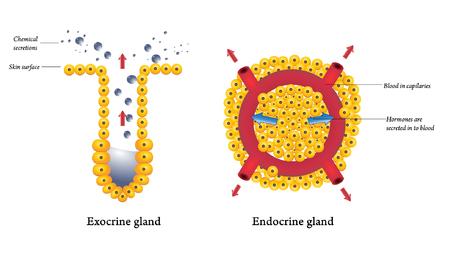duct: Exocrina y las gl�ndulas endocrinas