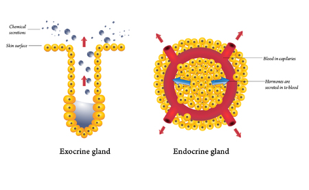 pore: Exocrine and endocrine glands