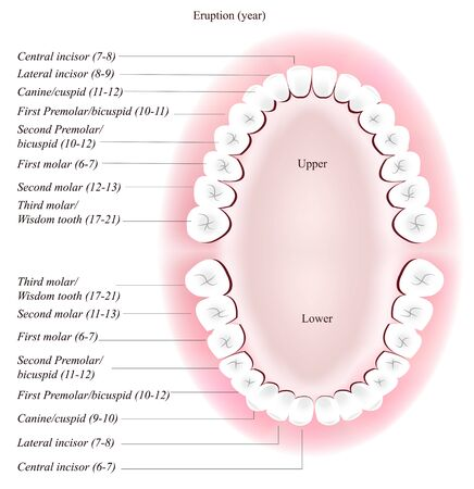 Adult dental chart. Eruption time.  Vector