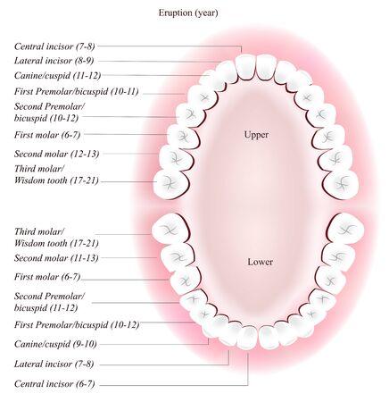 incisor: Adult dental chart. Eruption time.