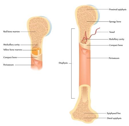 Human bone anatomy. Illustration showing detailed anatomy of human bone. Isolated white background, harmonic colors.