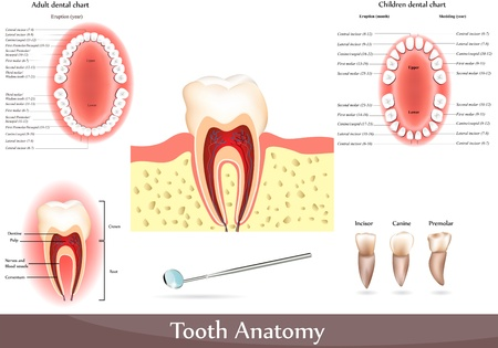 muela: Gran colecci�n de diagramas de anatom�a dental.  Bellos colores brillantes. Gr�fico dental para adultos y gr�fico dental de los ni�os.