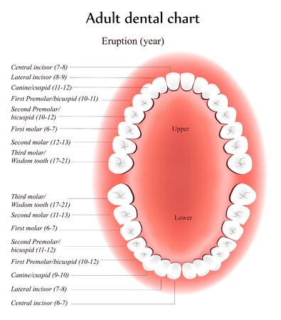 eruption: Adult Teeth anatomy. Shows eruption time and dental titles. Illustration