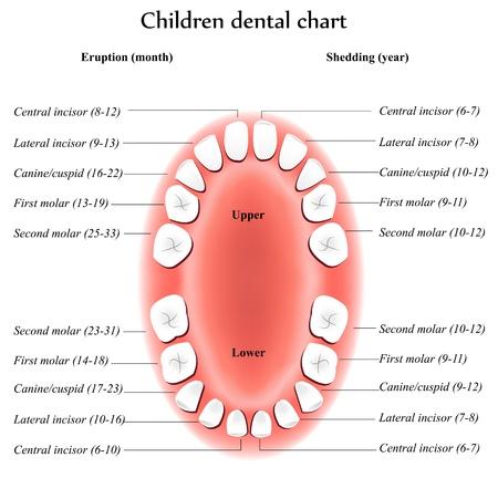 zuby: Children Teeth anatomy. Shows eruption and shedding time. Dental titles.