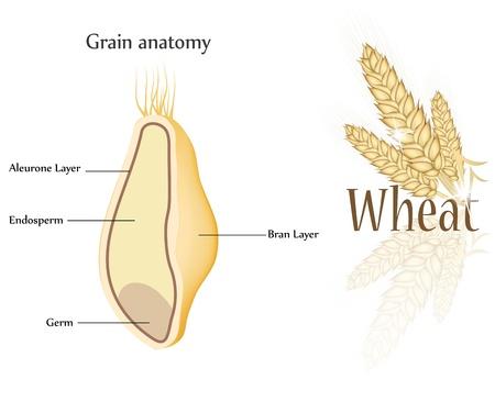 Tarwe en graan anatomie. Dwarsdoorsnede van graan. Endosperm, aleurone laag, laag kiem en zemelen.