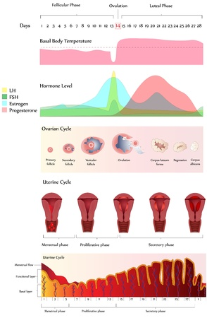 reproductive system: Menstrual cycle. Uterine and Ovarian Cycle, Hormone level and Basal body temperature. The Uterine cycle of menstruation starts from the first day of the menstrual period. Calendar helps predict most fertile time of the month (ovulation).
