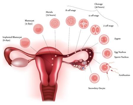 apparato riproduttore: Lo sviluppo delle cellule. Il sistema riproduttivo femminile che mostra l'ovulazione, la fecondazione, l'ulteriore sviluppo delle cellule e infine l'impianto. Archivio Fotografico