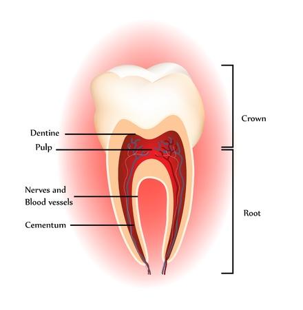 犬歯: 歯  イラスト・ベクター素材