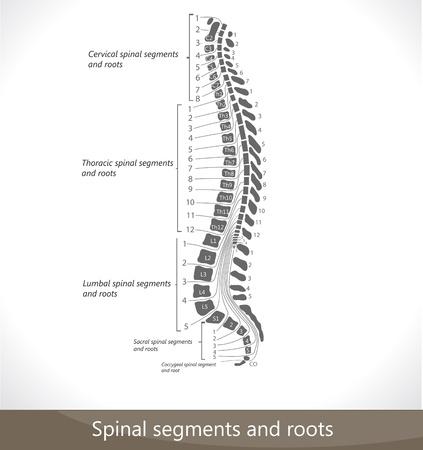 colonna vertebrale: Segmenti spinale e le radici. Schema dettagliato.