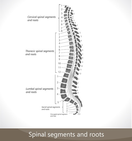 marrow: Spinal segments and roots. Detailed diagram.