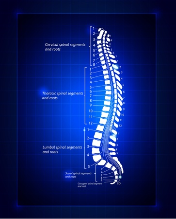human anatomy: spine Illustration