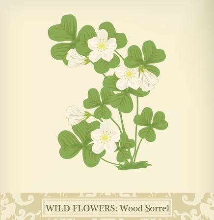 sorrel: Wood Sorrel, Wild flower. Beautiful vintage colors Illustration