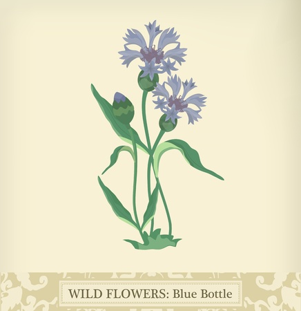 cornflower: Blue Bottle (Cornflower), Wild flower.Beautiful vintage colors