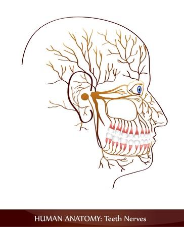 Teeth nerves. Detailed diagram. Vector
