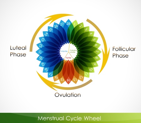 Menstrual cycle calendar. Follicular phase, Ovulation, luteal phase Illustration