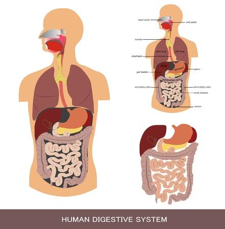 anatomie mens: Spijsvertering, gedetailleerde medische illustratie.