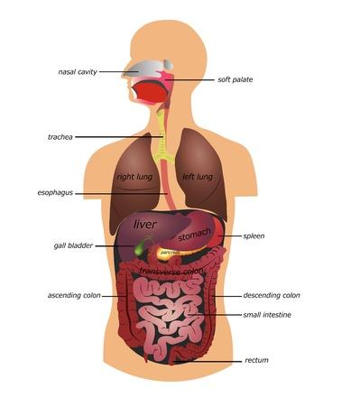 układ pokarmowy: Przewodu pokarmowego. BiaÅ'ym tle. Ilustracja