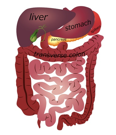 hepatic: Gastrointestinal tract. White background. Illustration