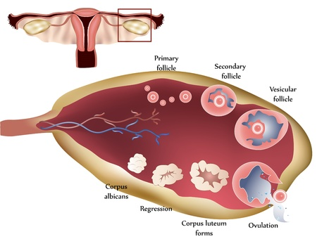 infertility: Female reproductive system. Female Ovary. Showing ovulation step by step.