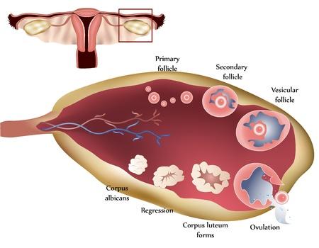 ovaire: L'appareil reproducteur femelle. Ovaire Femme. Montrant l'�tape par �tape l'ovulation.