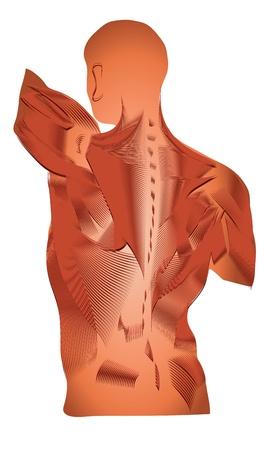 anatomia humana: La anatom�a humana de un diagrama detallado de los m�sculos m�sculos de la espalda Vectores