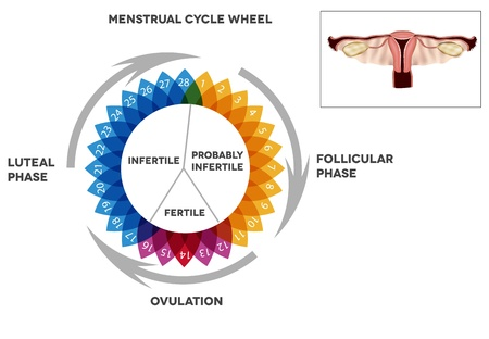 Menstrual cycle calendar  Detailed diagram of female menstrual cycle period  Illustrated female reproductive organs