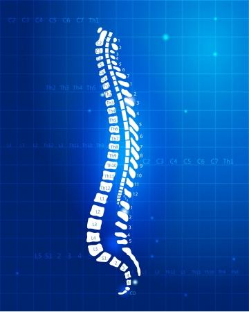 columna vertebral humana: Humanos segmentos de la columna vertebral anatom�a espinal y las ra�ces diagrama detallado hermoso color azul Vectores