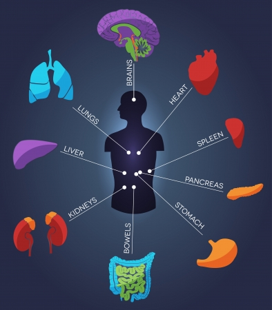 Human anatomy  Abstract colorful concept  Various human organs  liver, heart, kidneys, lungs, colon, intestine, stomach, brains, etc