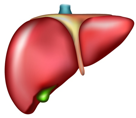 human liver: Liver. Detailed illustration of human internal organ Illustration